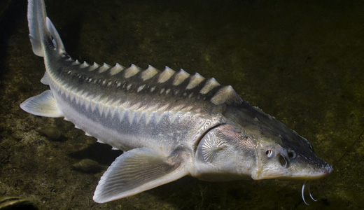 Stør i Put & Take. Hvor kan du fiske stør i Danmark?