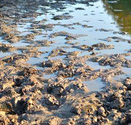 Smager din fisk af mudder?